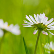 Stock Photo: Telephoto of white daisies and green grass