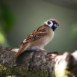 Sparrow — Stock Photo #6544115