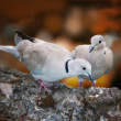 Lovely turtle dove - elegant and beautiful — Photo