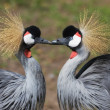 African Crowned Crane — Stock Photo