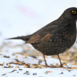 Stock Photo: Beautiful blackbird