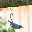 The Nuthatch — Stock Photo #6544348