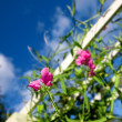 Beautiful garden flower and blue sky — Stock Photo