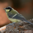 Stock Photo: Great Tit - forest in autumn. Saturated colors.