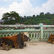 Holy cows in Kathmandu, Nepal - Stock Photo