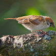 Stock Photo: Garden sparrow