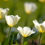 Beautiful spring tulips - flowers — Stock Photo