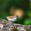 Garden sparrow — Stock Photo