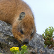 Capy Hyrax or Dassie or African Badger on Table Mountain — Stock Photo