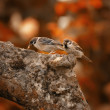 Sparrows in autumn — Stock Photo
