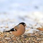 Eurasian Bullfinch - Pyrrhula pyrrhula. Beautiful garden bird in Europe — Stock Photo #6544947