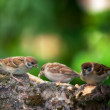Sparrow — Stock Photo #6544948