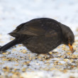 Blackbird eating apples in wintertime in the garden — Stock Photo