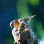Garden sparrow — Stock Photo