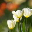 Beautiful spring tulips - flowers — Stock Photo