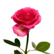 A beautiful red rose on white background - isolated — Stock Photo