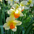 Stock Photo: Spring flowers - narcissus