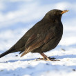 Male Blackbird in wintertime in the garden - Stock Photo