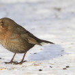Female Blackbird in wintertime and sunshine — Stock Photo