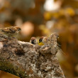 Stock Photo: Sparrows in autumn - sitting in a tree