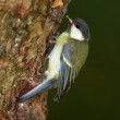Stock Photo: Telephoto of Great Tit