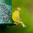 Greenfinch — Stock Photo #6545583