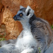 Longtailed monkey - Lemur catta — Stock Photo