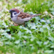 Stock Photo: Telephoto of sparrow sitting on green ground