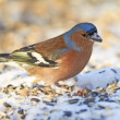 Stock Photo: Chaffinch