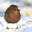 Female Blackbird in wintertime in the garden — Stock Photo