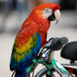 A sharp photo of a red parrot on a bike - Stock Photo