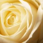 Yellow rose — Stock Photo #6545840