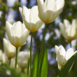 A photo of beautiful white tulips in the garden in early springtime — Stock Photo #6545854