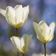 Stock Photo: A very sharp and detailed photo of white tulips in the garden