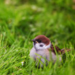 A telephoto of a sparrow sitting on the green ground — Stock Photo