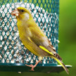 Greenfinch — Stock Photo #6546012