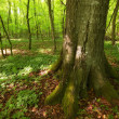A very sharp and detailed photo of the famous saturated Danish forest in sp — Stock Photo #6546023