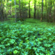 A very sharp and detailed photo of the famous saturated Danish forest in sp — Stock Photo #6546024