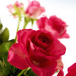 Stock Photo: A photo of a red rose semi isolated on white background