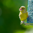Carduelis chloris - Stock Photo