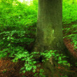 Lush forest - the Danish saturated forests - Stock Photo