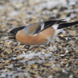 Stock Photo: Eurasian Bullfinch