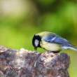 Stock Photo: Telephoto of Blue Tit