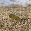 carduelis chloris — Stock Photo