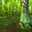 A very sharp and detailed photo of the famous saturated Danish forest in sp — Stock Photo #6546555