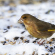 Greenfinch - Carduelis Chloris — Stock Photo