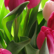 Tulip dreams — Stock Photo