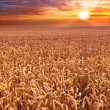 Sunset at the countryside - time for harvest — Stock Photo