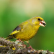 Carduelis chloris - Greenfinch — Stock Photo