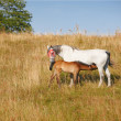 Stock Photo: Telephoto of mother and baby - horses